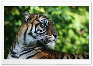 Tiger Animal HD Wide Wallpaper for Widescreen