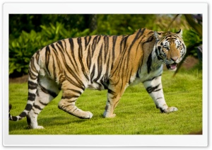 Tiger At Zoo HD Wide Wallpaper for Widescreen