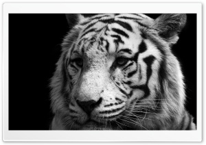 Tiger Black And White Ultra HD Wallpaper for 4K UHD Widescreen desktop, tablet & smartphone