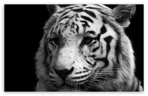 Tiger Black And White HD wallpaper for Standard 4:3 5:4 Fullscreen UXGA XGA SVGA QSXGA SXGA ; Wide 16:10 5:3 Widescreen WHXGA WQXGA WUXGA WXGA WGA ; HD 16:9 High Definition WQHD QWXGA 1080p 900p 720p QHD nHD ; Other 3:2 DVGA HVGA HQVGA devices ( Apple PowerBook G4 iPhone 4 3G 3GS iPod Touch ) ; Mobile VGA WVGA iPhone iPad PSP Phone - VGA QVGA Smartphone ( PocketPC GPS iPod Zune BlackBerry HTC Samsung LG Nokia Eten Asus ) WVGA WQVGA Smartphone ( HTC Samsung Sony Ericsson LG Vertu MIO ) HVGA Smartphone ( Apple iPhone iPod BlackBerry HTC Samsung Nokia ) Sony PSP Zune HD Zen ; Tablet 2 ;