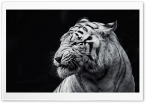 Tiger Black and White HD Wide Wallpaper for Widescreen