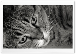 Tiger Cat Black And White HD Wide Wallpaper for Widescreen
