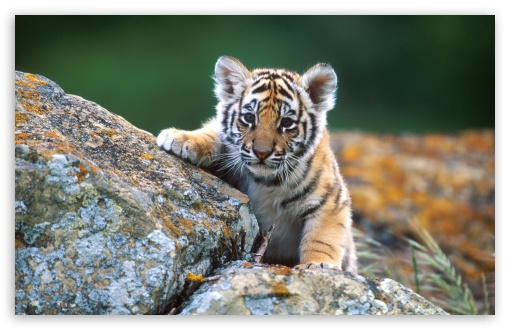 Tiger Cub HD wallpaper for Wide 16:10 5:3 Widescreen WHXGA WQXGA WUXGA WXGA WGA ; HD 16:9 High Definition WQHD QWXGA 1080p 900p 720p QHD nHD ; Standard 4:3 5:4 3:2 Fullscreen UXGA XGA SVGA QSXGA SXGA DVGA HVGA HQVGA devices ( Apple PowerBook G4 iPhone 4 3G 3GS iPod Touch ) ; Tablet 1:1 ; iPad 1/2/Mini ; Mobile 4:3 5:3 3:2 16:9 5:4 - UXGA XGA SVGA WGA DVGA HVGA HQVGA devices ( Apple PowerBook G4 iPhone 4 3G 3GS iPod Touch ) WQHD QWXGA 1080p 900p 720p QHD nHD QSXGA SXGA ;
