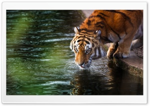 Tiger Drinking HD Wide Wallpaper for 4K UHD Widescreen desktop & smartphone