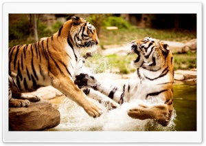 Tiger Fight HD Wide Wallpaper for Widescreen