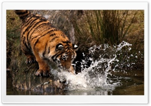 Tiger Fishing HD Wide Wallpaper for 4K UHD Widescreen desktop & smartphone