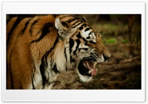 Tiger Growl HD Wide Wallpaper for 4K UHD Widescreen desktop & smartphone