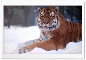 Tiger In Snow HD Wide Wallpaper for Widescreen