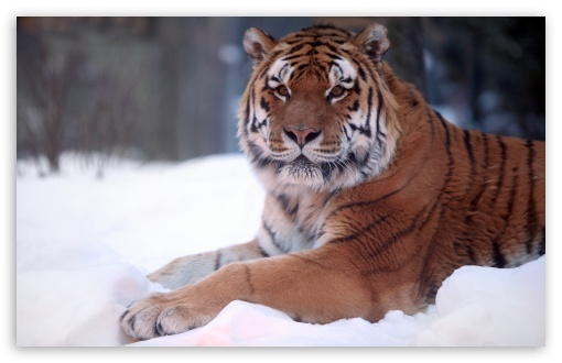 Tiger In Snow HD wallpaper for Wide 16:10 5:3 Widescreen WHXGA WQXGA WUXGA WXGA WGA ; HD 16:9 High Definition WQHD QWXGA 1080p 900p 720p QHD nHD ; Standard 4:3 5:4 3:2 Fullscreen UXGA XGA SVGA QSXGA SXGA DVGA HVGA HQVGA devices ( Apple PowerBook G4 iPhone 4 3G 3GS iPod Touch ) ; Tablet 1:1 ; iPad 1/2/Mini ; Mobile 4:3 5:3 3:2 16:9 5:4 - UXGA XGA SVGA WGA DVGA HVGA HQVGA devices ( Apple PowerBook G4 iPhone 4 3G 3GS iPod Touch ) WQHD QWXGA 1080p 900p 720p QHD nHD QSXGA SXGA ;
