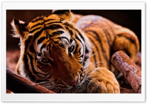Tiger in the Dark HD Wide Wallpaper for Widescreen