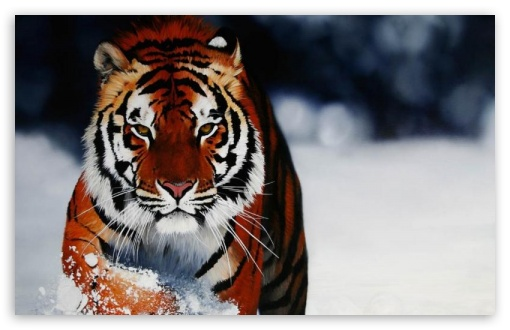 Tiger in the snow UltraHD Wallpaper for Mobile 16:9 - 2160p 1440p 1080p 900p 720p ;