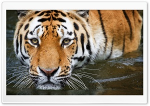 Tiger In The Water HD Wide Wallpaper for Widescreen