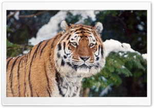 Tiger In Winter HD Wide Wallpaper for 4K UHD Widescreen desktop & smartphone