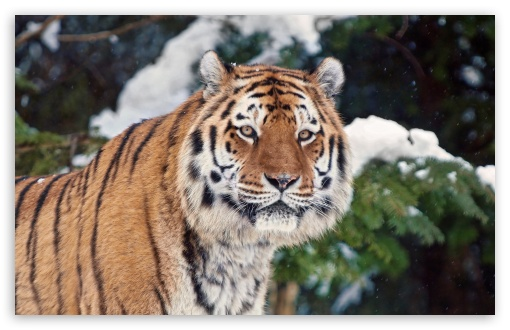 Tiger In Winter ❤ 4K UHD Wallpaper for Wide 16:10 5:3 Widescreen WHXGA WQXGA WUXGA WXGA WGA ; 4K UHD 16:9 Ultra High Definition 2160p 1440p 1080p 900p 720p ; UHD 16:9 2160p 1440p 1080p 900p 720p ; Standard 4:3 5:4 3:2 Fullscreen UXGA XGA SVGA QSXGA SXGA DVGA HVGA HQVGA ( Apple PowerBook G4 iPhone 4 3G 3GS iPod Touch ) ; Tablet 1:1 ; iPad 1/2/Mini ; Mobile 4:3 5:3 3:2 16:9 5:4 - UXGA XGA SVGA WGA DVGA HVGA HQVGA ( Apple PowerBook G4 iPhone 4 3G 3GS iPod Touch ) 2160p 1440p 1080p 900p 720p QSXGA SXGA ; Dual 5:4 QSXGA SXGA ;