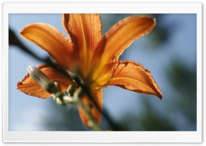 Tiger Lilly HD Wide Wallpaper for 4K UHD Widescreen desktop & smartphone