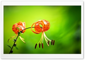 Tiger Lily Flower, Green Background HD Wide Wallpaper for 4K UHD Widescreen desktop & smartphone