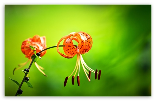 Tiger Lily Flower, Green Background ❤ 4K UHD Wallpaper for Wide 16:10 5:3 Widescreen WHXGA WQXGA WUXGA WXGA WGA ; 4K UHD 16:9 Ultra High Definition 2160p 1440p 1080p 900p 720p ; UHD 16:9 2160p 1440p 1080p 900p 720p ; Standard 4:3 5:4 3:2 Fullscreen UXGA XGA SVGA QSXGA SXGA DVGA HVGA HQVGA ( Apple PowerBook G4 iPhone 4 3G 3GS iPod Touch ) ; Smartphone 5:3 WGA ; Tablet 1:1 ; iPad 1/2/Mini ; Mobile 4:3 5:3 3:2 16:9 5:4 - UXGA XGA SVGA WGA DVGA HVGA HQVGA ( Apple PowerBook G4 iPhone 4 3G 3GS iPod Touch ) 2160p 1440p 1080p 900p 720p QSXGA SXGA ;