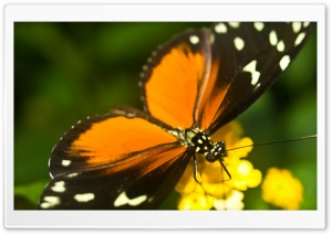 Tiger Longwing Butterfly HD Wide Wallpaper for Widescreen