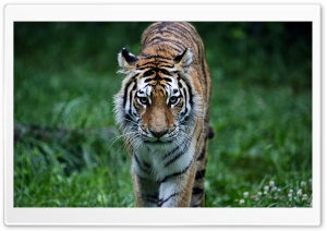 Tiger On The Hunt HD Wide Wallpaper for 4K UHD Widescreen desktop & smartphone