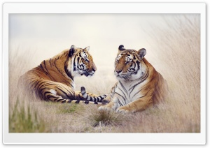Tiger Pair HD Wide Wallpaper for Widescreen