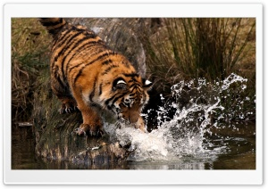Tiger Playing With Water HD Wide Wallpaper for 4K UHD Widescreen desktop & smartphone