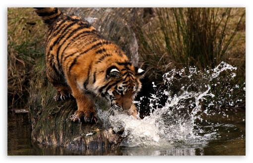 Tiger Playing With Water ❤ 4K UHD Wallpaper for Wide 16:10 5:3 Widescreen WHXGA WQXGA WUXGA WXGA WGA ; 4K UHD 16:9 Ultra High Definition 2160p 1440p 1080p 900p 720p ; Standard 4:3 5:4 3:2 Fullscreen UXGA XGA SVGA QSXGA SXGA DVGA HVGA HQVGA ( Apple PowerBook G4 iPhone 4 3G 3GS iPod Touch ) ; Tablet 1:1 ; iPad 1/2/Mini ; Mobile 4:3 5:3 3:2 16:9 5:4 - UXGA XGA SVGA WGA DVGA HVGA HQVGA ( Apple PowerBook G4 iPhone 4 3G 3GS iPod Touch ) 2160p 1440p 1080p 900p 720p QSXGA SXGA ;
