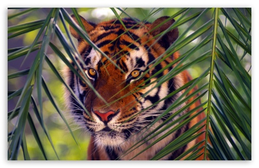 Tiger Prowling ❤ 4K UHD Wallpaper for Wide 16:10 5:3 Widescreen WHXGA WQXGA WUXGA WXGA WGA ; 4K UHD 16:9 Ultra High Definition 2160p 1440p 1080p 900p 720p ; Standard 4:3 5:4 3:2 Fullscreen UXGA XGA SVGA QSXGA SXGA DVGA HVGA HQVGA ( Apple PowerBook G4 iPhone 4 3G 3GS iPod Touch ) ; Tablet 1:1 ; iPad 1/2/Mini ; Mobile 4:3 5:3 3:2 16:9 5:4 - UXGA XGA SVGA WGA DVGA HVGA HQVGA ( Apple PowerBook G4 iPhone 4 3G 3GS iPod Touch ) 2160p 1440p 1080p 900p 720p QSXGA SXGA ;