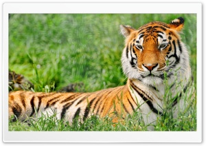 Tiger Resting HD Wide Wallpaper for 4K UHD Widescreen desktop & smartphone
