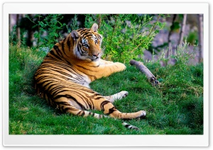 Tiger Resting On Green Grass HD Wide Wallpaper for Widescreen