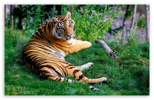 Tiger Resting On Green Grass HD wallpaper for Wide 16:10 5:3 Widescreen WHXGA WQXGA WUXGA WXGA WGA ; HD 16:9 High Definition WQHD QWXGA 1080p 900p 720p QHD nHD ; Standard 4:3 5:4 3:2 Fullscreen UXGA XGA SVGA QSXGA SXGA DVGA HVGA HQVGA devices ( Apple PowerBook G4 iPhone 4 3G 3GS iPod Touch ) ; Tablet 1:1 ; iPad 1/2/Mini ; Mobile 4:3 5:3 3:2 16:9 5:4 - UXGA XGA SVGA WGA DVGA HVGA HQVGA devices ( Apple PowerBook G4 iPhone 4 3G 3GS iPod Touch ) WQHD QWXGA 1080p 900p 720p QHD nHD QSXGA SXGA ;