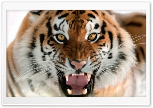 Tiger Roar Face HD Wide Wallpaper for 4K UHD Widescreen desktop & smartphone