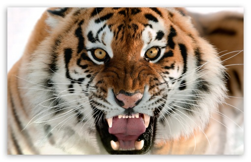 Tiger Roar Face Ultra Hd Desktop Background Wallpaper For 4k Uhd Tv Tablet Smartphone