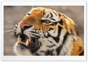 Tiger Roaring HD Wide Wallpaper for Widescreen