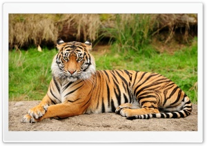 Tiger Sitting Majestic HD Wide Wallpaper for 4K UHD Widescreen desktop & smartphone