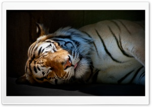 Tiger Sleeping HD Wide Wallpaper for Widescreen