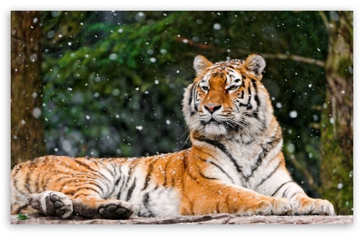 Tiger Snowy Winter ❤ 4K UHD Wallpaper for Wide 16:10 5:3 Widescreen WHXGA WQXGA WUXGA WXGA WGA ; 4K UHD 16:9 Ultra High Definition 2160p 1440p 1080p 900p 720p ; Standard 4:3 5:4 3:2 Fullscreen UXGA XGA SVGA QSXGA SXGA DVGA HVGA HQVGA ( Apple PowerBook G4 iPhone 4 3G 3GS iPod Touch ) ; iPad 1/2/Mini ; Mobile 4:3 5:3 3:2 16:9 5:4 - UXGA XGA SVGA WGA DVGA HVGA HQVGA ( Apple PowerBook G4 iPhone 4 3G 3GS iPod Touch ) 2160p 1440p 1080p 900p 720p QSXGA SXGA ;