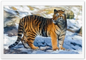 Tiger Standing in the Snow HD Wide Wallpaper for Widescreen