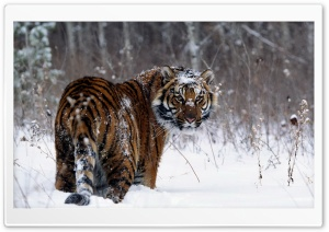 Tiger, Winter HD Wide Wallpaper for 4K UHD Widescreen desktop & smartphone