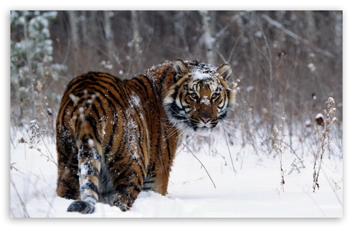 Tiger, Winter UltraHD Wallpaper for Wide 16:10 5:3 Widescreen WHXGA WQXGA WUXGA WXGA WGA ; 8K UHD TV 16:9 Ultra High Definition 2160p 1440p 1080p 900p 720p ; Standard 4:3 5:4 3:2 Fullscreen UXGA XGA SVGA QSXGA SXGA DVGA HVGA HQVGA ( Apple PowerBook G4 iPhone 4 3G 3GS iPod Touch ) ; Smartphone 16:9 3:2 5:3 2160p 1440p 1080p 900p 720p DVGA HVGA HQVGA ( Apple PowerBook G4 iPhone 4 3G 3GS iPod Touch ) WGA ; Tablet 1:1 ; iPad 1/2/Mini ; Mobile 4:3 5:3 3:2 16:9 5:4 - UXGA XGA SVGA WGA DVGA HVGA HQVGA ( Apple PowerBook G4 iPhone 4 3G 3GS iPod Touch ) 2160p 1440p 1080p 900p 720p QSXGA SXGA ;