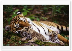 Tiger With Cubs HD Wide Wallpaper for Widescreen