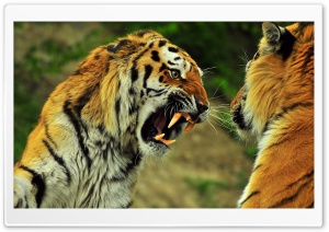 Tigers Roaring HD Wide Wallpaper for Widescreen