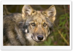 Timber Wolf HD Wide Wallpaper for Widescreen