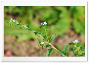 Tiny Blue Flowers HD Wide Wallpaper for Widescreen
