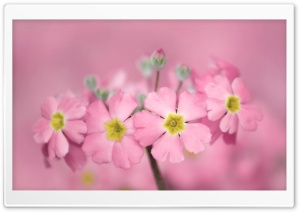 Tiny Pink Flowers HD Wide Wallpaper for Widescreen