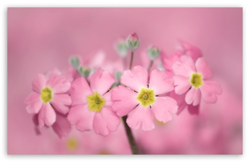Tiny Pink Flowers HD wallpaper for Wide 16:10 5:3 Widescreen WHXGA WQXGA WUXGA WXGA WGA ; HD 16:9 High Definition WQHD QWXGA 1080p 900p 720p QHD nHD ; Standard 4:3 5:4 3:2 Fullscreen UXGA XGA SVGA QSXGA SXGA DVGA HVGA HQVGA devices ( Apple PowerBook G4 iPhone 4 3G 3GS iPod Touch ) ; Smartphone 5:3 WGA ; Tablet 1:1 ; iPad 1/2/Mini ; Mobile 4:3 5:3 3:2 16:9 5:4 - UXGA XGA SVGA WGA DVGA HVGA HQVGA devices ( Apple PowerBook G4 iPhone 4 3G 3GS iPod Touch ) WQHD QWXGA 1080p 900p 720p QHD nHD QSXGA SXGA ;