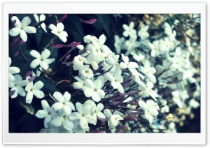 Tiny White Flowers HD Wide Wallpaper for Widescreen
