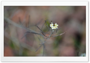 Tiny White Flowers Ultra HD Wallpaper for 4K UHD Widescreen desktop, tablet & smartphone