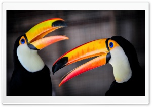 Toco Toucan HD Wide Wallpaper for 4K UHD Widescreen desktop & smartphone