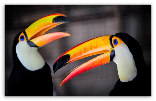 Toco Toucan ❤ 4K UHD Wallpaper for Wide 16:10 5:3 Widescreen WHXGA WQXGA WUXGA WXGA WGA ; 4K UHD 16:9 Ultra High Definition 2160p 1440p 1080p 900p 720p ; UHD 16:9 2160p 1440p 1080p 900p 720p ; Standard 3:2 Fullscreen DVGA HVGA HQVGA ( Apple PowerBook G4 iPhone 4 3G 3GS iPod Touch ) ; Mobile 5:3 3:2 16:9 - WGA DVGA HVGA HQVGA ( Apple PowerBook G4 iPhone 4 3G 3GS iPod Touch ) 2160p 1440p 1080p 900p 720p ;
