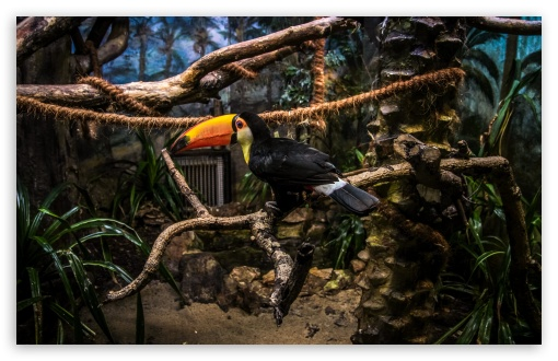 Toco Toucan Perched In Tree HD wallpaper for Standard 4:3 5:4 Fullscreen UXGA XGA SVGA QSXGA SXGA ; Wide 16:10 5:3 Widescreen WHXGA WQXGA WUXGA WXGA WGA ; HD 16:9 High Definition WQHD QWXGA 1080p 900p 720p QHD nHD ; Other 3:2 DVGA HVGA HQVGA devices ( Apple PowerBook G4 iPhone 4 3G 3GS iPod Touch ) ; Mobile VGA WVGA iPhone iPad PSP Phone - VGA QVGA Smartphone ( PocketPC GPS iPod Zune BlackBerry HTC Samsung LG Nokia Eten Asus ) WVGA WQVGA Smartphone ( HTC Samsung Sony Ericsson LG Vertu MIO ) HVGA Smartphone ( Apple iPhone iPod BlackBerry HTC Samsung Nokia ) Sony PSP Zune HD Zen ; Tablet 2 Android ;